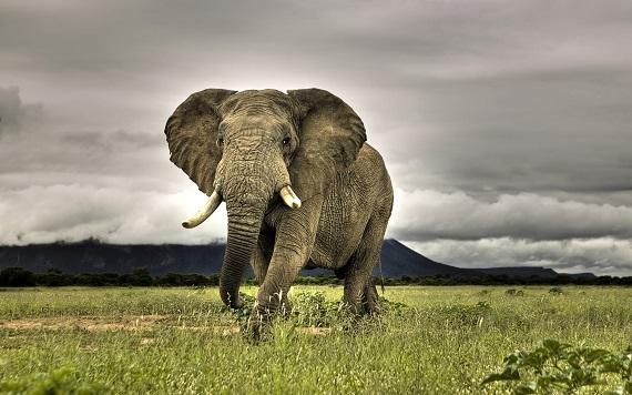 Słoń Afryka Sawanna